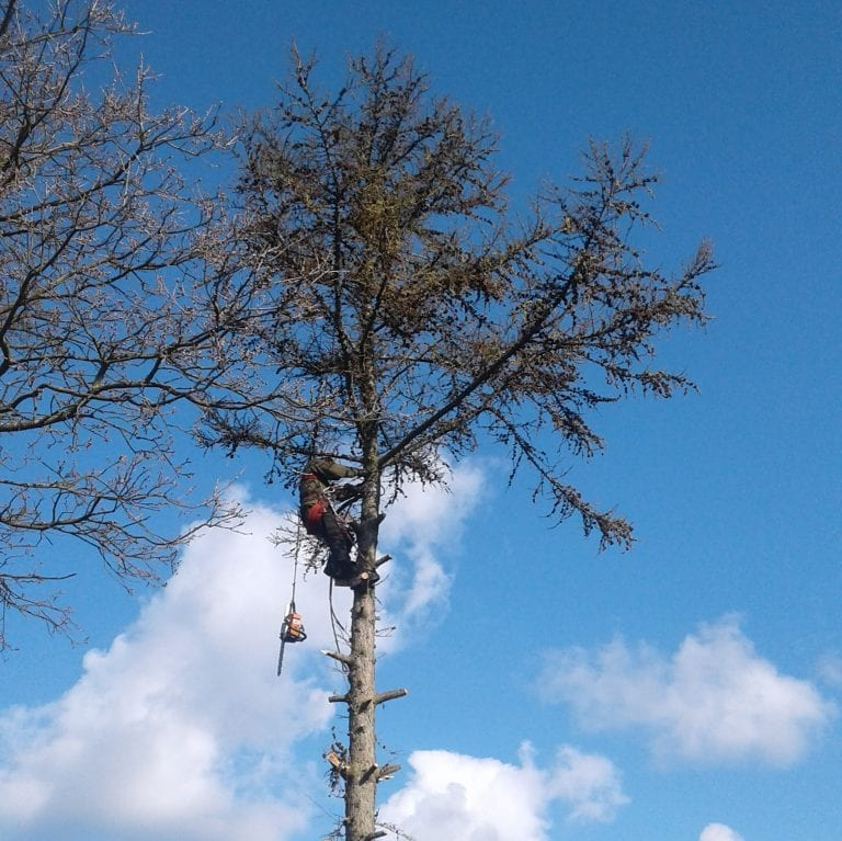 Mand topkapper et træ